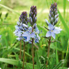 Vivara » Shop » Planten » Vaste planten » Gentiaan Ereprijs (Veronica gentianoides)