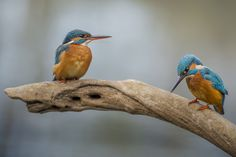 Martin-pêcheur d'Europe - Common Kingfisher - Martín Pescador Común - Martin pescatore - Eisvogel ( Alcedo atthis ) kingfisher couple by Riccardo Trevisani on 500px