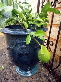 "My lovely pot and ""lottsa Lemons "" miniature lemon tree"