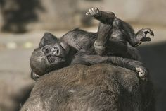San Diego Zoo - Jessica's baby boy has a name. Say hi to Denny. Save Animals, Cute Baby Animals, Animals And Pets, Funny Animals, Wild Animals Pictures, Cute Animal Pictures, Baby Gorillas, Mountain Gorilla