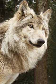 Tibetan Wolf (by Andres Gallo) Wolf Photos, Wolf Pictures, Animal Pictures, Beautiful Wolves, Animals Beautiful, Animals And Pets, Cute Animals, Animals Images, Wolf Photography