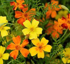 Liten tagetes, även kallad kryddtagetes, har citrondoftande blad och blommor i gult, orange och rött. Blommor och blad är ätliga och dekorativa i sallader. Förodlas inomhus i april-maj, blommar i juni-oktober. Höjd 40 cm. Ekofrö. Impecta.
