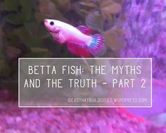 Betta fish: The myths and the truth – Part Betta Fish Care, Take Care Of Me, Freshwater Fish, Tropical Fish, Fish Tank, Pet Care, Fresh Water, Tips, Animals