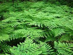Pteridium aquilinum, llamado por lo general helecho común, es una especie de helecho perteneciente a la familia Hypolepydaceae. Esta especi...
