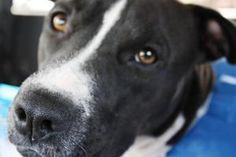 Lulu is an adoptable Pit Bull Terrier Dog in Houston, TX. Hi my name is Lulu and I am a one year old female pit bull. Iam 48 pounds of sweetness! My tail wags all day, especially when I see people. I...