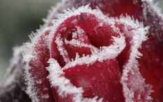 Preview wallpaper rose, frost, snow, white, winter