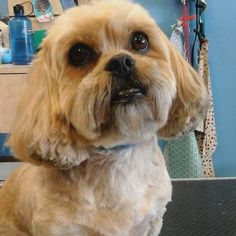 Chin Lee #tucsondoggrooming #wagsmytail #doggrooming A well groomed dog is a well loved dog! Call us today to schedule your dog grooming appointment 520-744-7040