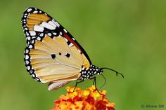 Plain Tiger Butterfly (Danaus Chrysippus). South Asia.
