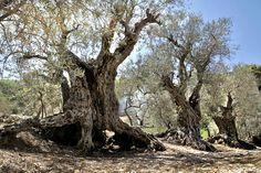The Sisters, também conhecidas como The Sisters Olive Trees of Noah, são um grupo de dezesseis oliveiras que se encontram no Líbano, na estância de Bacheale. Existem há pelo menos 5.000 anos e, possivelmente, poderão chegar aos 6.000 de idade.