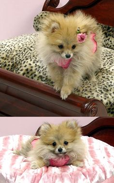 This is way to cute pomeranian