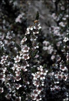 Woolly Tea-tree/Leptospermum lanigerum (Shrub) - Full Sun/Part Shade.