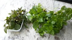 Just picked fresh from the Cocoa Cream Garden. Black peppermint and Moroccan Mint. Going to make truffles with them both, what fun.