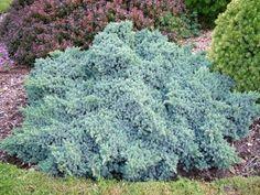 Juniperus squamata 'Blue Star' (Dwarf Blue Star Juniper)