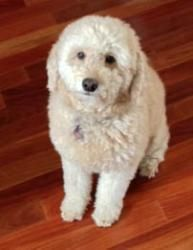 This is Jovi Doodle a 4 yr old Golden/Poodle mix. She is an owner surrender due to a divorce. Jovi is confused after having to leave the only home she has known & is shy at first meeting. She is spayed, current on vaccinations, potty trained, gets along with other dogs & older kids only. She is a small girl at only 23lbs. Jovi is looking for a quiet forever home & is at Adopt A Golden Atlanta, GA.Please click on pic for additional info on this dog