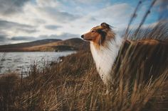 Irish rough collie