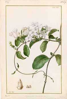 4th Anniversary - Happiness in Marriage 280249 Stephanotis floribunda Brongn. / Collection des vélins du Muséum national d'histoire naturelle, vol. 75: t. 67 (1834) [A. Riché]