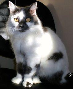 edb67679cdfa47 Turkish Van Cat -  cat  catbreeds  vancat  turkishvancat Turkish Van Cats