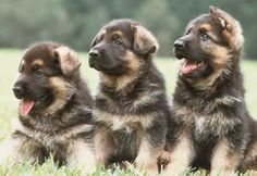 duitse herdershond pup