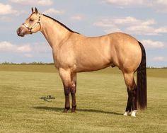 Buck Creek Ranch - CKade, AQHA Stallion. CKade is a Buckskin. That is Bay (Black Ee + Agouti Aa) + 1  Cream (C,Ccr). -Nix Alba