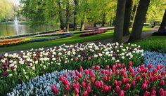 beautiful tulip beds