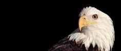 An Elegy for America's Oldest Bald Eagle Sounds Of Birds, Audubon Birds, Audubon Society, Eagle Bird, Migratory Birds, Photography Awards, Beautiful Birds, Pet Birds, Habitats