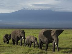 Picture of a herd of elephants walking with Mount Kilimanjaro in the background