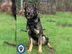 Police dog sniffs out man's lost wedding band tossed during argument Police Dogs, Police Chief, West Midlands, Tossed, Training Programs, Animal Kingdom, Lions, Wedding Bands, Animals