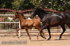 Andalusian Horse, Horses For Sale, Spanish, Palomino, Animals, Animales, Animaux, Spanish Language, Animal