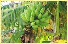 Banana Plant Paper from Banana Stem Waste http://www.thebetterindia.com/342/paper-from-banana-stem-waste/
