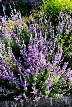 Low maintenance Russian Sage Perennial. Great mid summer flowers.