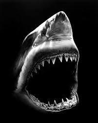 is a charcoal drawing by Robert Longo. This is a charcoal drawing by Robert Longo.This is a charcoal drawing by Robert Longo. Hai Tattoos, Shark Art, Shark Fish, Fish Ocean, Shark Bites, Ocean Creatures, Lovely Creatures, Tier Fotos, Shark Week