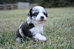 Colbie Female Blue Merle Aussie Doodle AVAILABLE Nov. 1st, 2013