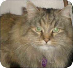 Orem, UT - Himalayan. Meet Bella, a cat for adoption.