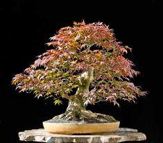 Bonsai Photo of the Day 5-10-2018 – BonsaiJack.com #bonsaijack #bonsai