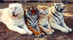 Far left, a liger, bred from a male lion/ female tiger.  This breeding results in a cat with out  a growth inhibitor gene as the parental  lineage of this breeding does not  include this gene from either parent.  Mid left, Bengal Tiger, the most  commonly known tiger.  Mid right, Tigon, bred from a male  tiger/female lion. this breeding is rare  and typically small getting a growth  inhibitor gene from both parents.  Far right, Siberian Tiger, seasonaly white to light  orange fur
