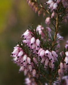 Some small heather flowers in the Heather Garden at Virginia Water in Windsor Great Park.