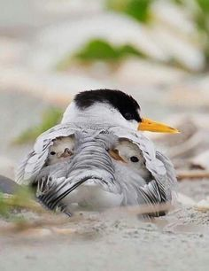 This is the adorable moment two cute baby birds nestle under their mother's wings. Photographer Melissa Groo, who captured the images in New Jersey, said the Least Terns were sheltering from … Pretty Birds, Beautiful Birds, Animals Beautiful, Nature Animals, Animals And Pets, Cute Baby Animals, Funny Animals, Photo Animaliere, Tier Fotos