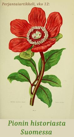 - Entire leaved Peony - paeonia corallina, red blooming flower vintage old retro floral botanical illustration in jpg format Vintage Botanical Prints, Botanical Drawings, Vintage Prints, Botanical Flowers, Botanical Art, Botanical Tattoo, Illustration Botanique, Illustration Art, Flower Prints
