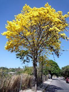 Aragüaney: Árbol Nacional de Venezuela.