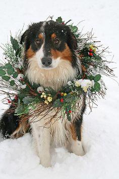 Christmas dog by susyr22, via Flickr #Holiday #Dogs Australian #Shepherd Puppy