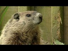 Groundhog Day - video about ground hogs - cute.  Well done.