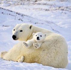 Polar.bears