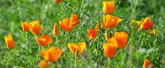 This gorgeous Poppy Picture from the Los Rios Park by Claire....made it on Google Images