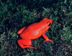 MANTELLA ROJA: Su nombre esta dado, como es obvio, por su llamativo color rojo fuego. Tienen un tamaño aproximado de 25 mm. Este pequeño ejemplar terrestre es nativo de los bosques de Madagascar.