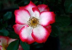 in the garden - the flashy betty boop floribunda rose