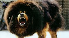 Tibetan Mastiff | These dogs are more mountain dogs than they are mastiffs. They are typically used in the Asian mountains, and weigh about 220 pounds or 100 kilograms.