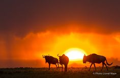 Untitled - Trois gnous au coucher du soleil, Masai-Mara