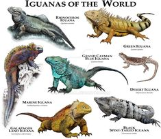 Epic 23 Interesting Facts About Iguana https://meowlogy.com/2018/04/15/23-interesting-facts-about-iguana/ In Tamarindo there are a lot of fantastic places to eat! Pay anywhere from $1-$20 based on the distance, tell them where you wish to go, what time and when you would like to be picked up and they'll be there for you Iguana Pet, Marine Iguana, Animal Species, Vertebrates, Reptiles And Amphibians, Mammals, Animals Beautiful, Unique Animals, Nature Animals