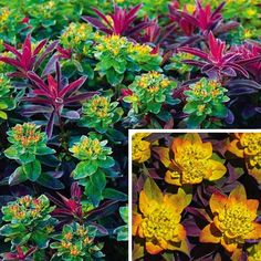 Bonfire Euphorbia; Get ready for a dramatic three-season performance in your landscape. In spring, Bonfire's emerging foliage is brilliant yellow, orange and lime; summer and fall colors are crimson and burgundy. Tiny golden-chartreuse blooms in late spring. Neat, mounded, low-growing plant lights up the front of a garden, walkway, or even containers. Grows 10-12'' tall. Blooms in late spring. Plant 18'' apart in full to partial sun.