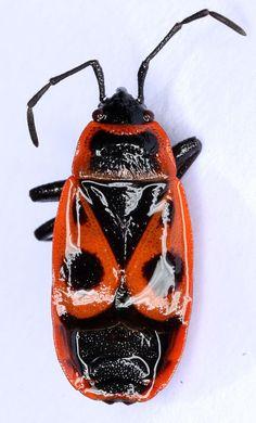 Pyrrhocoridae. Pyrrhocoris sp. BOLD Systems: Taxonomy Browser - Pyrrhocoridae {family}